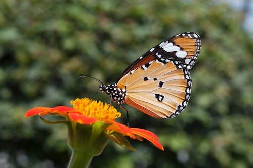 Ingyenes stockfotó monarch butterfly egy tithonia virág témában