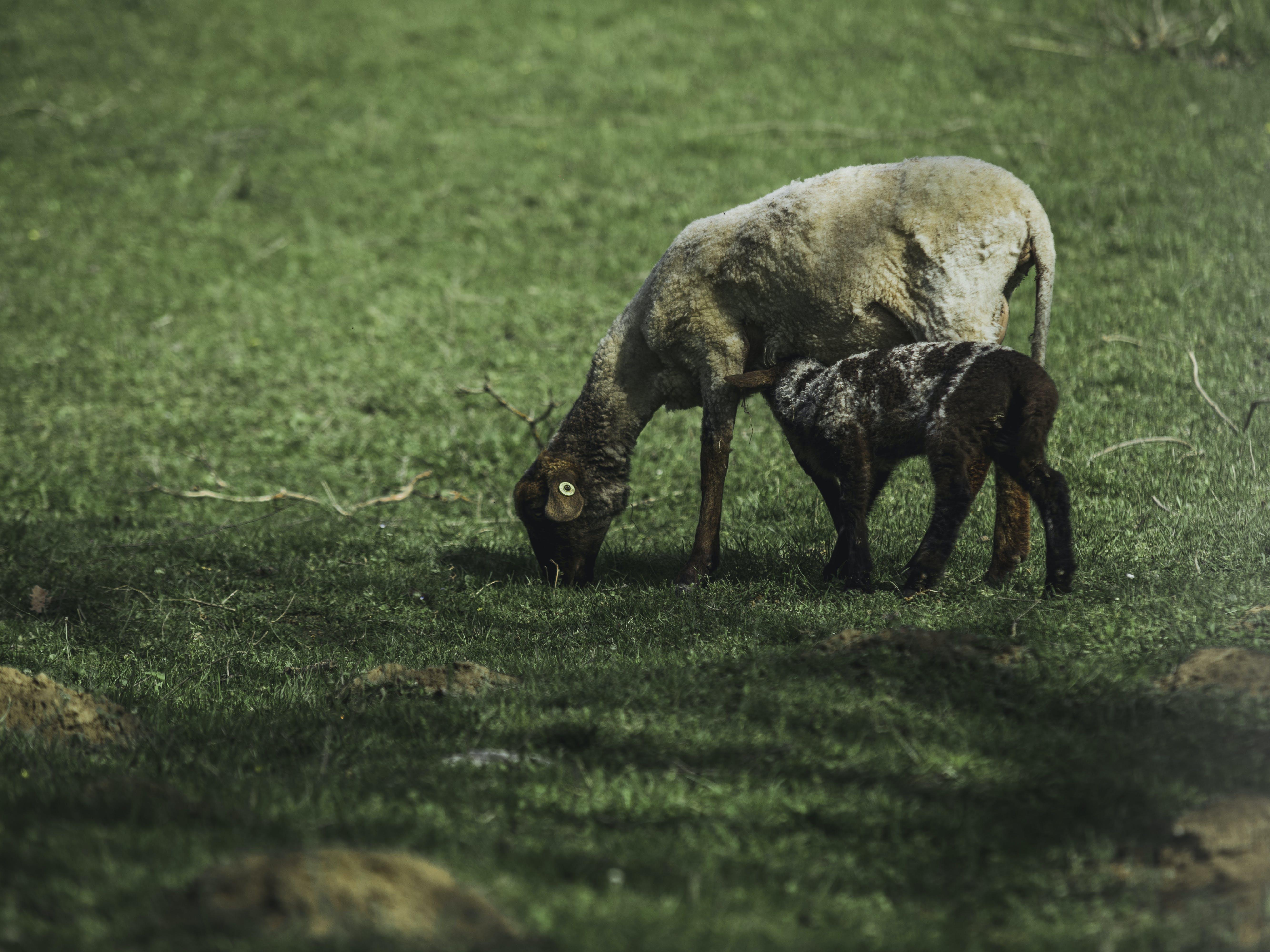 Goat Standing On Green Grass Field