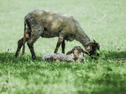 乾草地, 動物, 可愛, 哺乳動物 的 免费素材照片