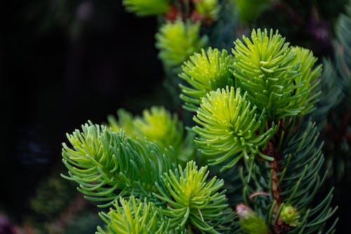 Gratis lagerfoto af gren, nåletræ, plante, rødgran