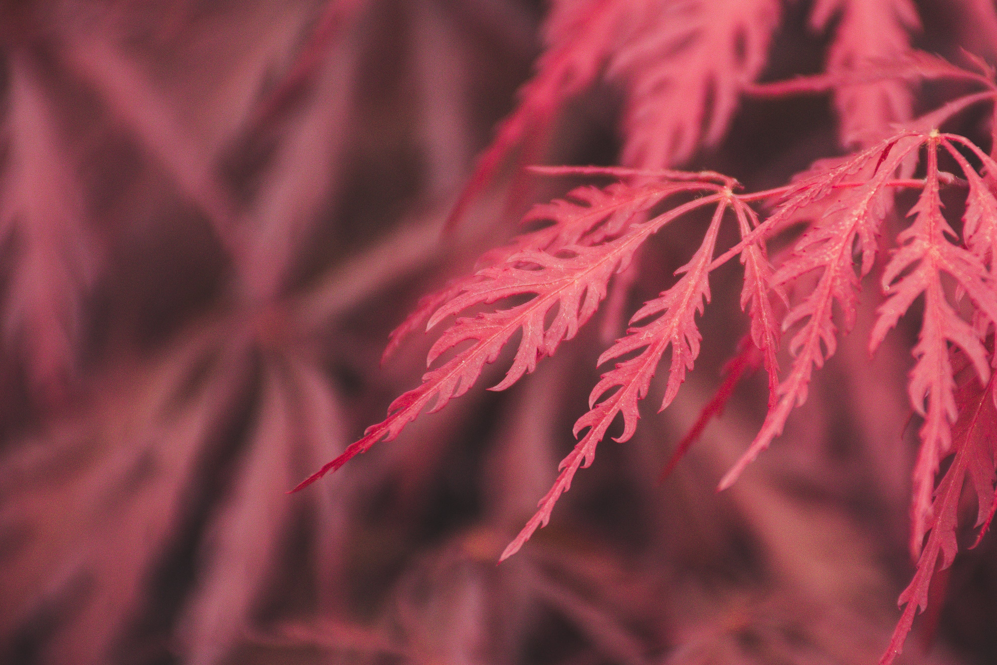 Selective Focus Photography Of Red Leaves