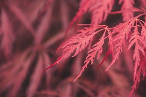 季節, 宏觀, 廠, 日本楓樹 的 免費圖庫相片