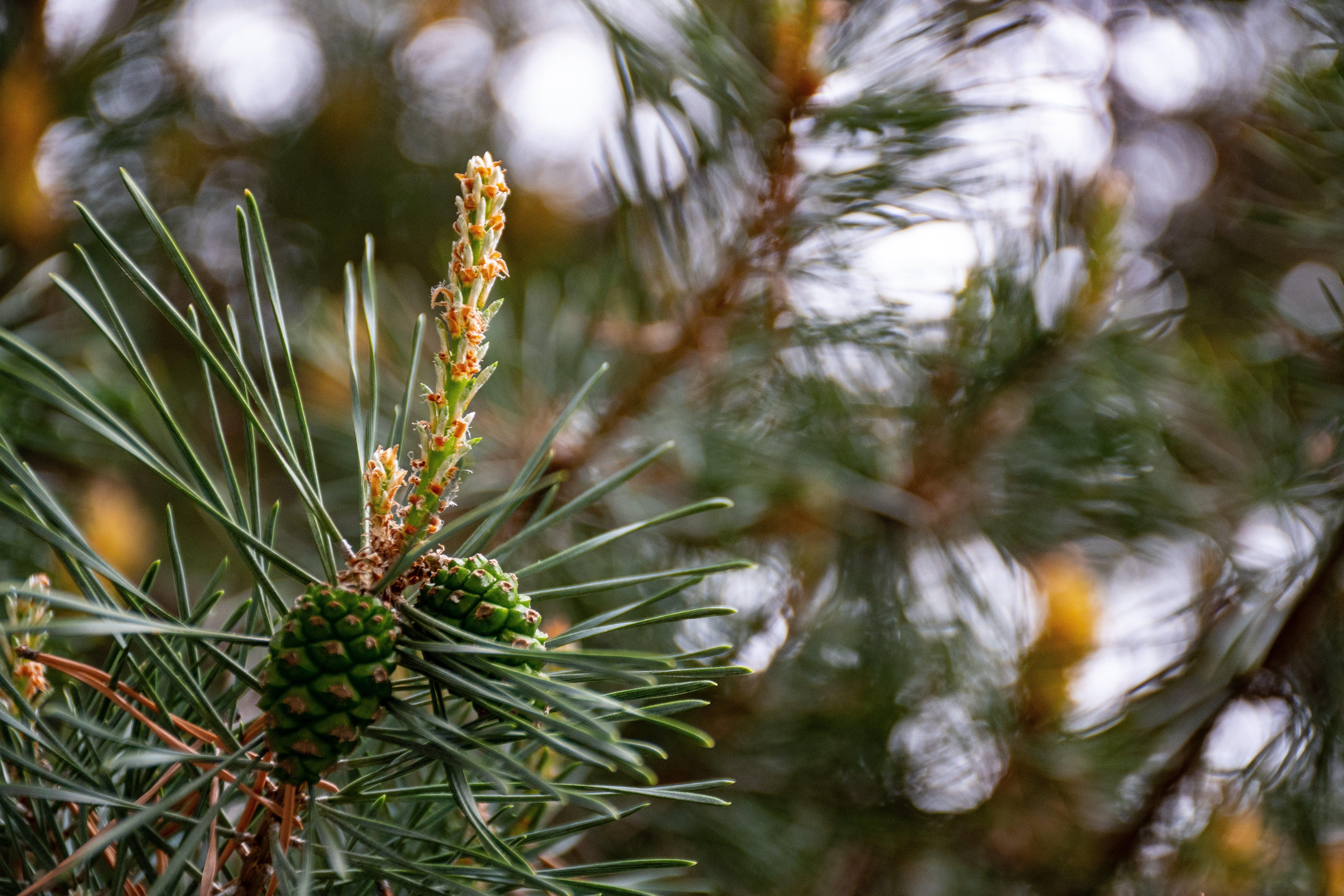 Close Up Photo of Pine Tree