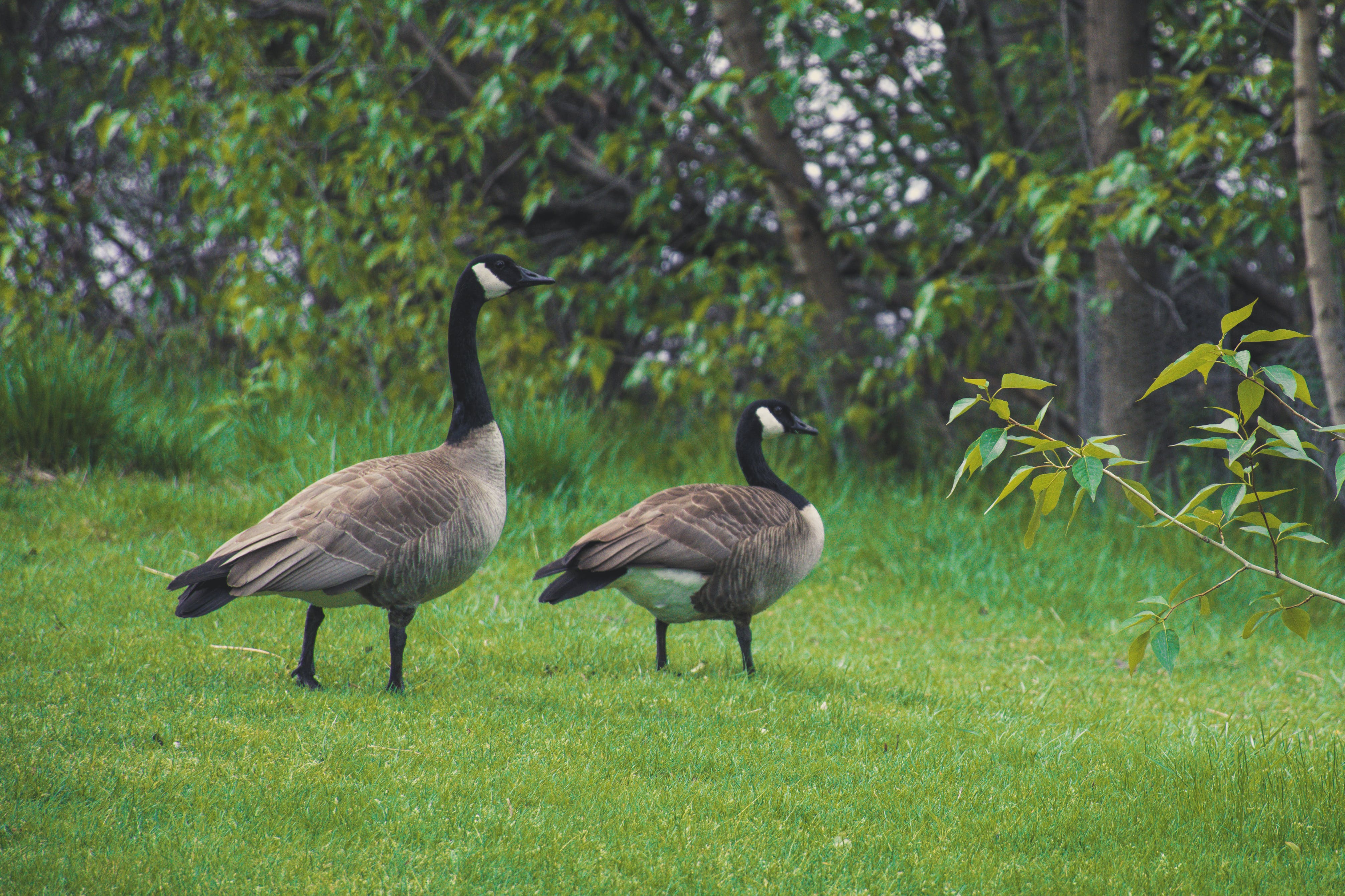 Two Canadian Geese On Green Grass