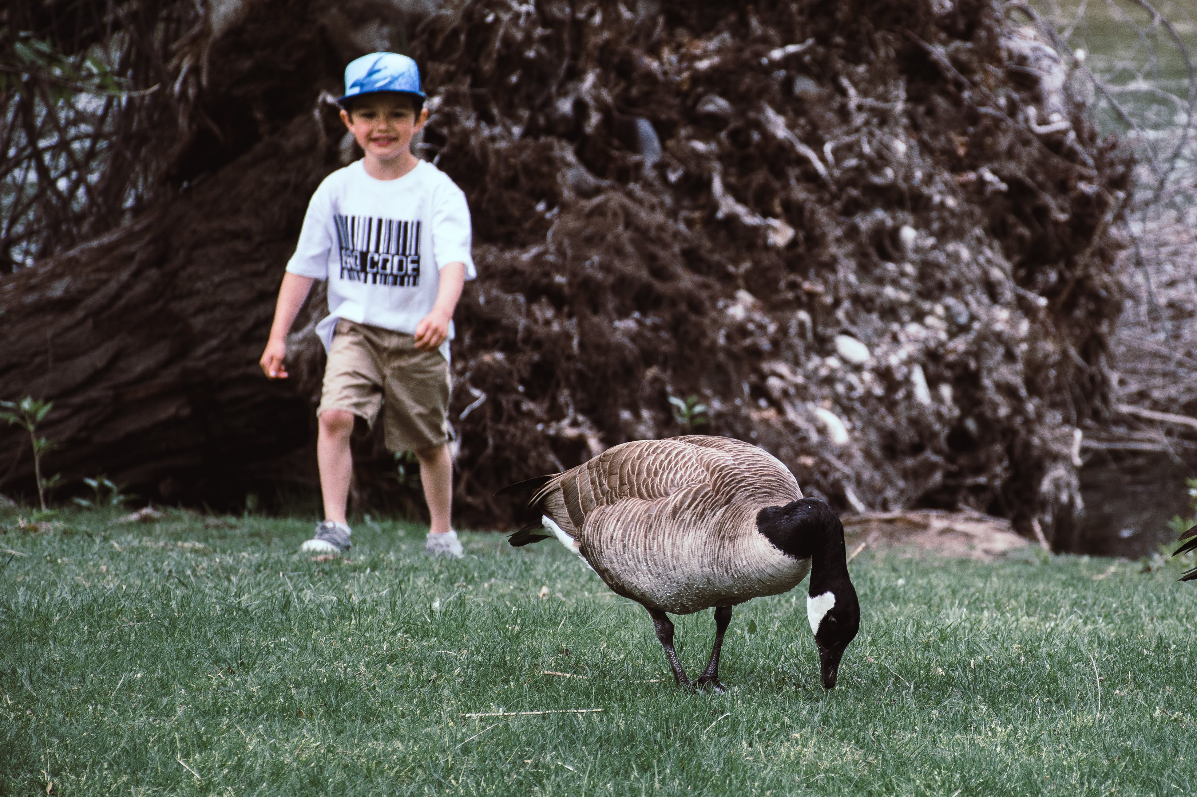 Brown And Grey Goose On Green Grass