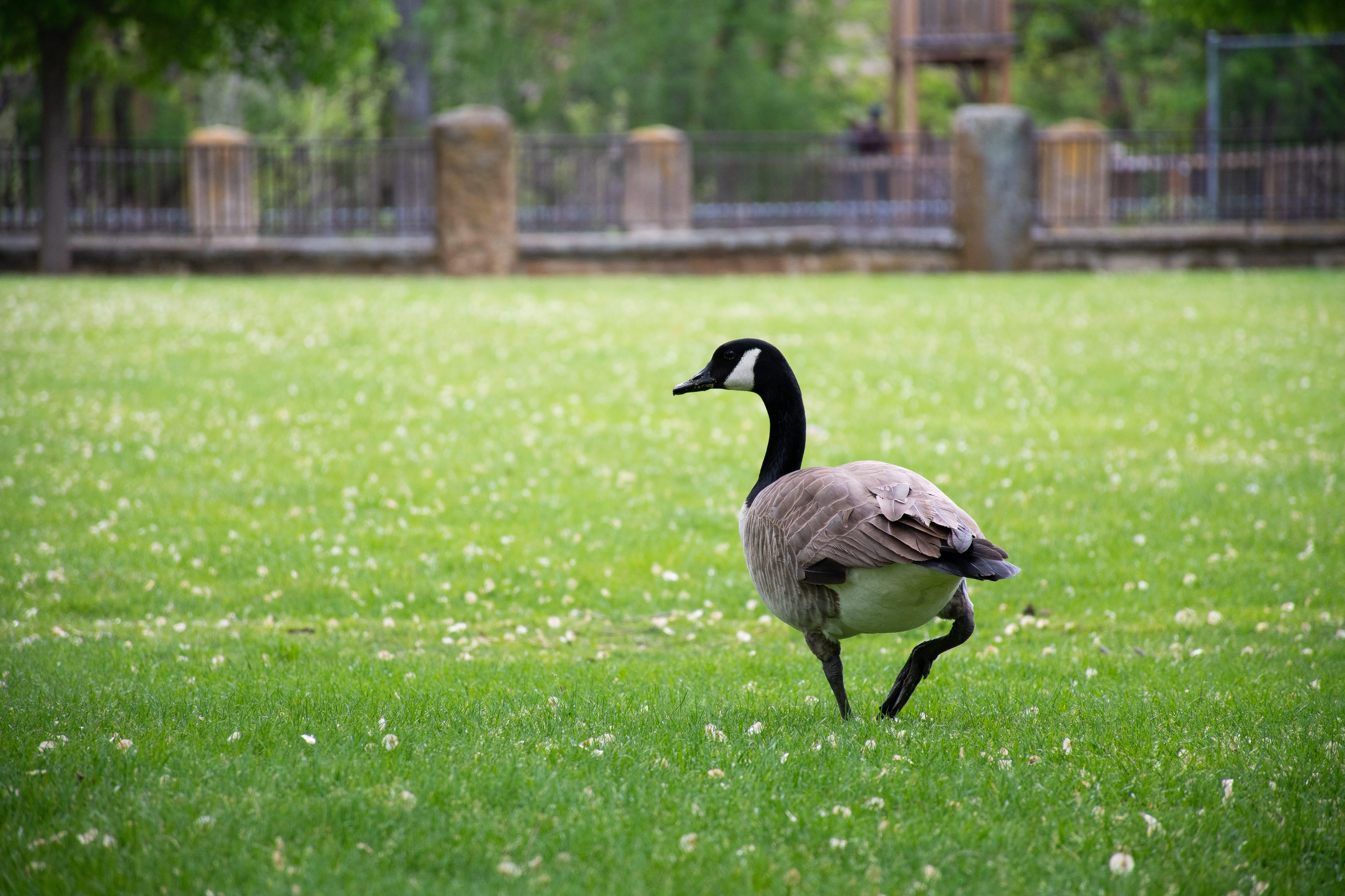 Foto stok gratis alam, angsa, bidang, binatang