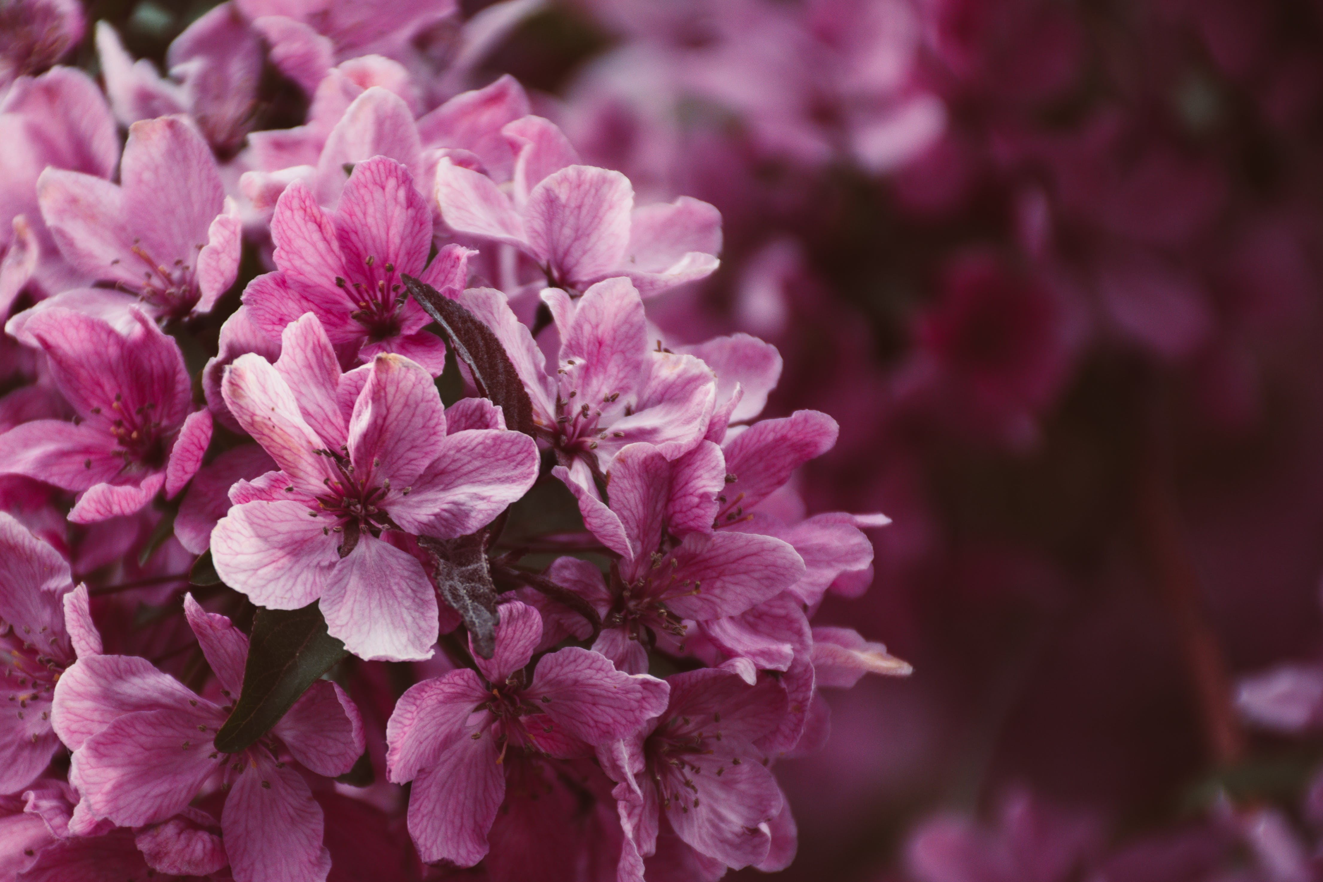 Close-up Photo Of Pink Petaled Flowers