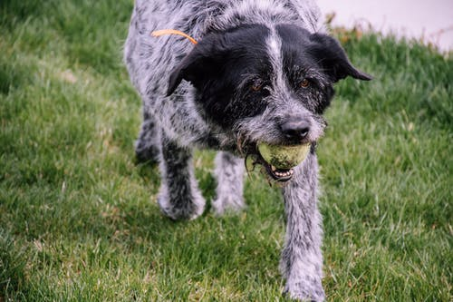 Wire-haired White and Black Dog with Tennis Ball