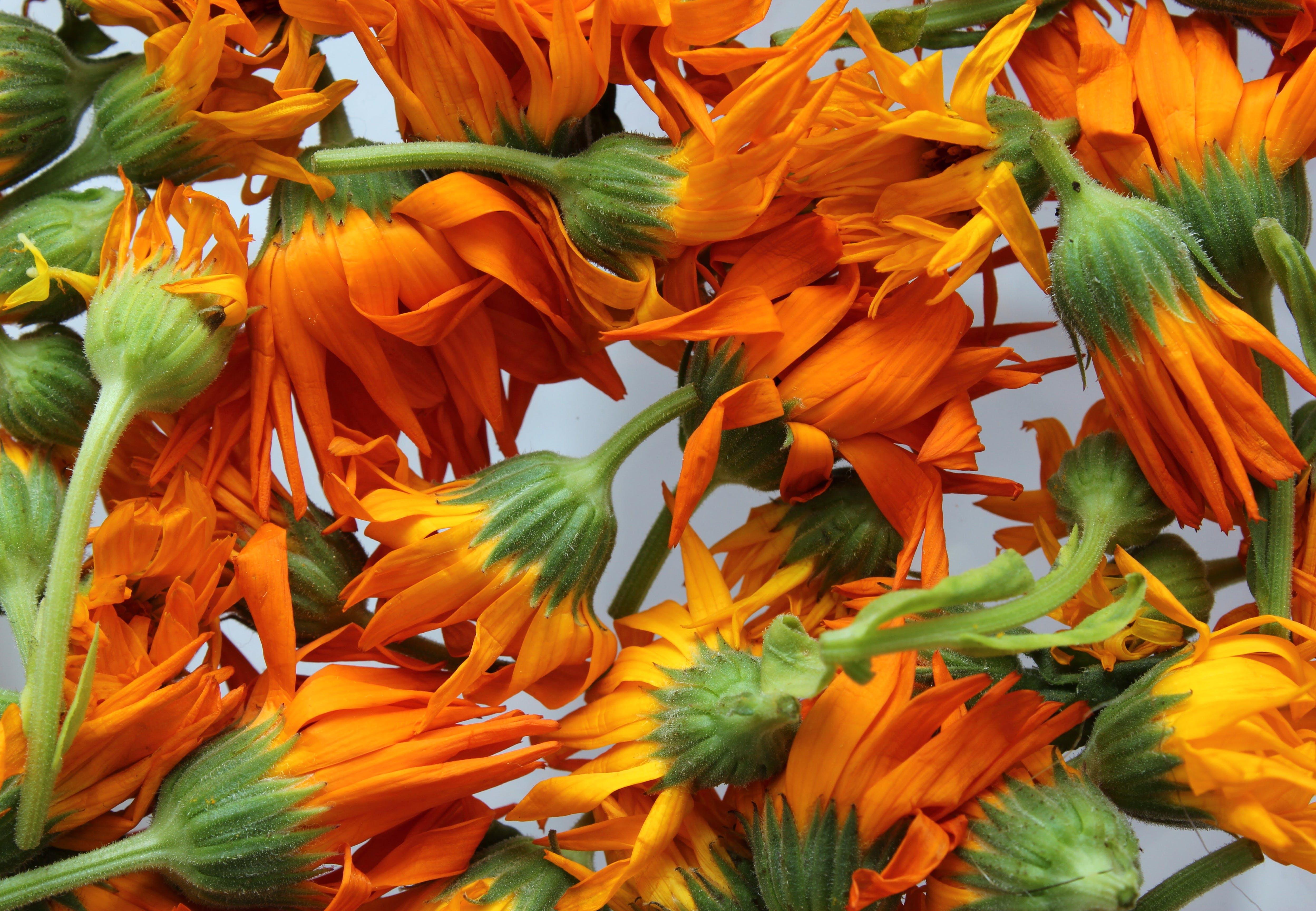 Free stock photo of aromatherapy, beautiful flowers, calendula, calendula officinalis