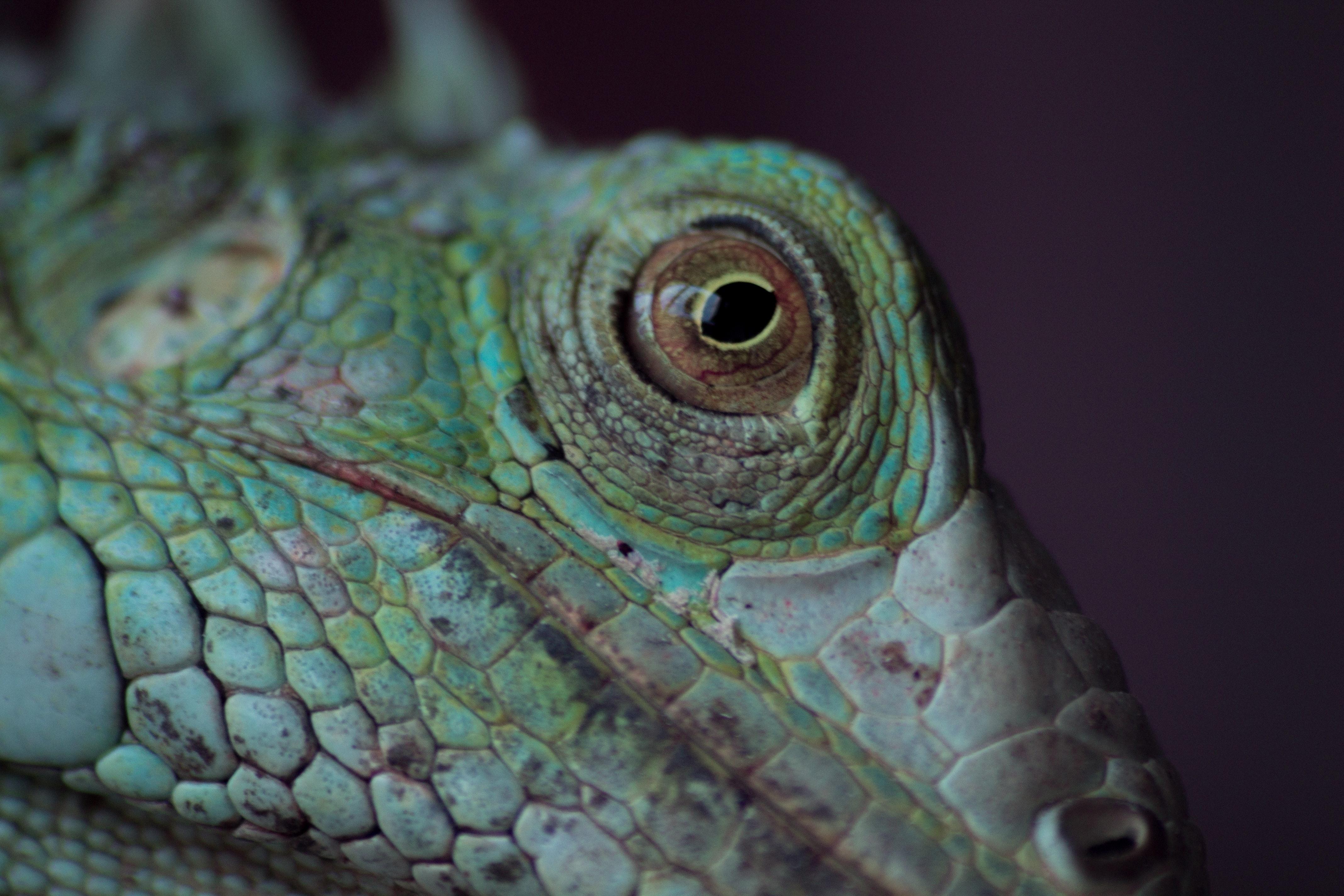 Free stock photo of amazing, animal, animal eye