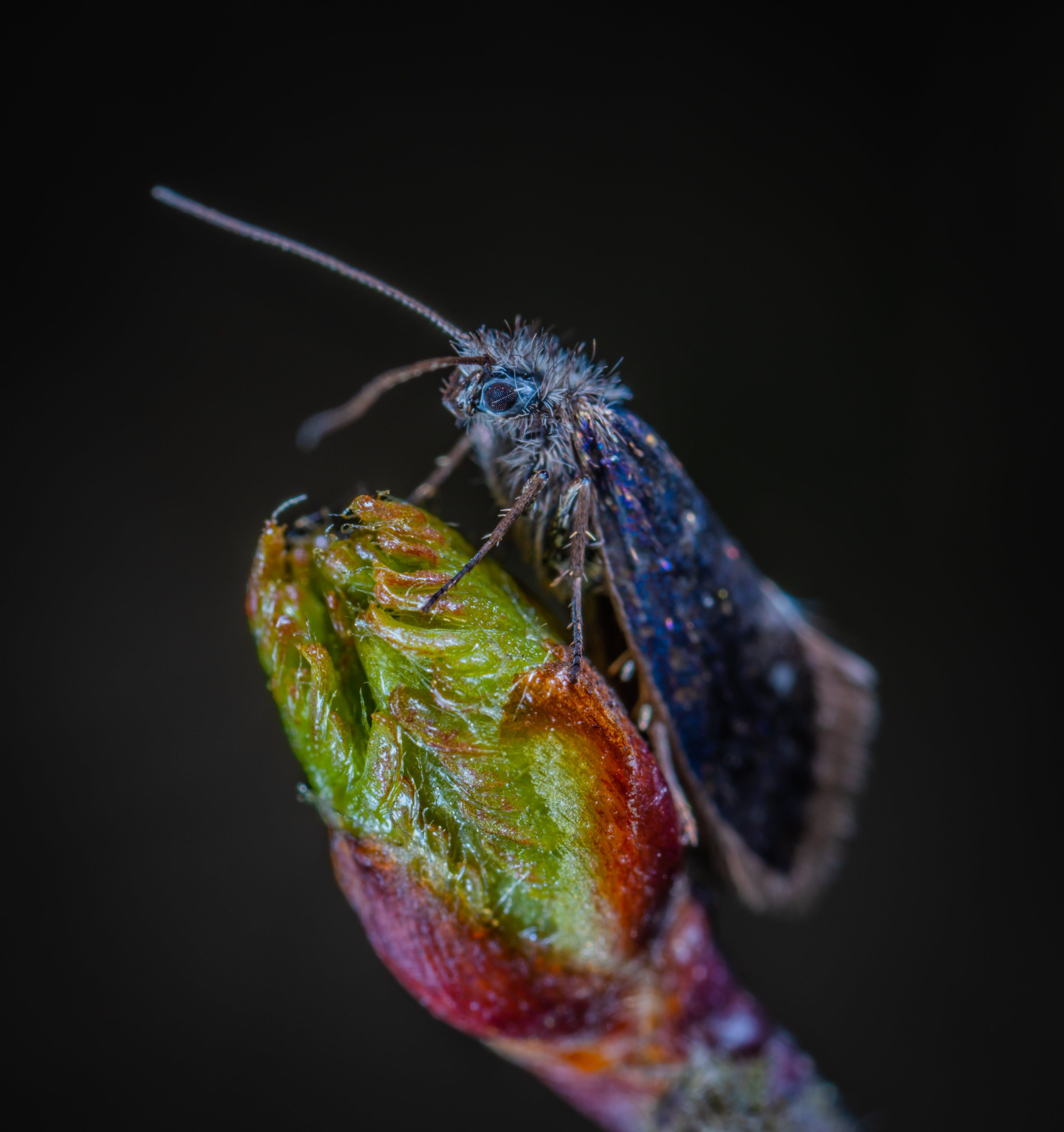 Blue Moth On Green Bud