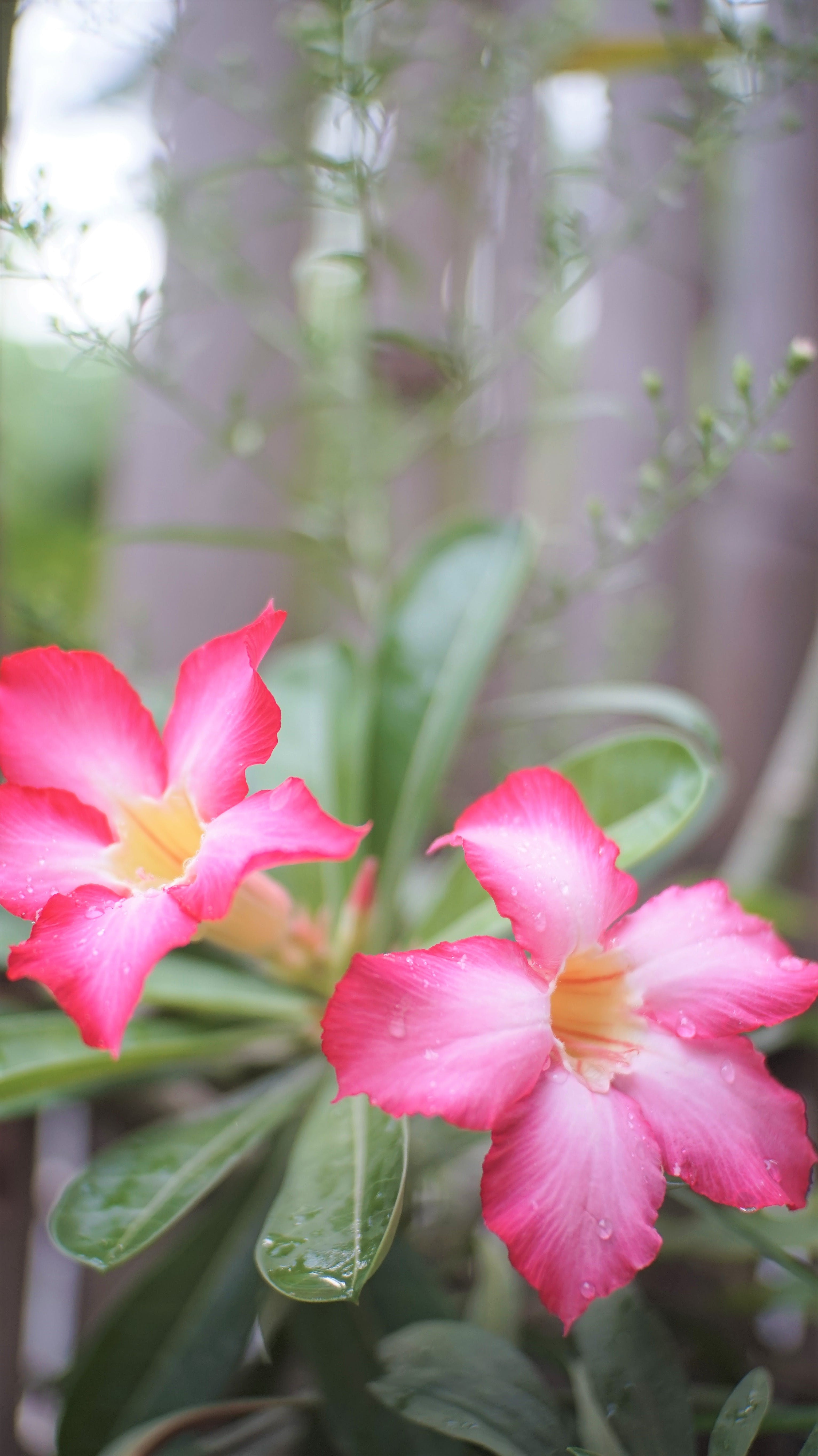 Free stock photo of flowers, morning flower, pink flowers