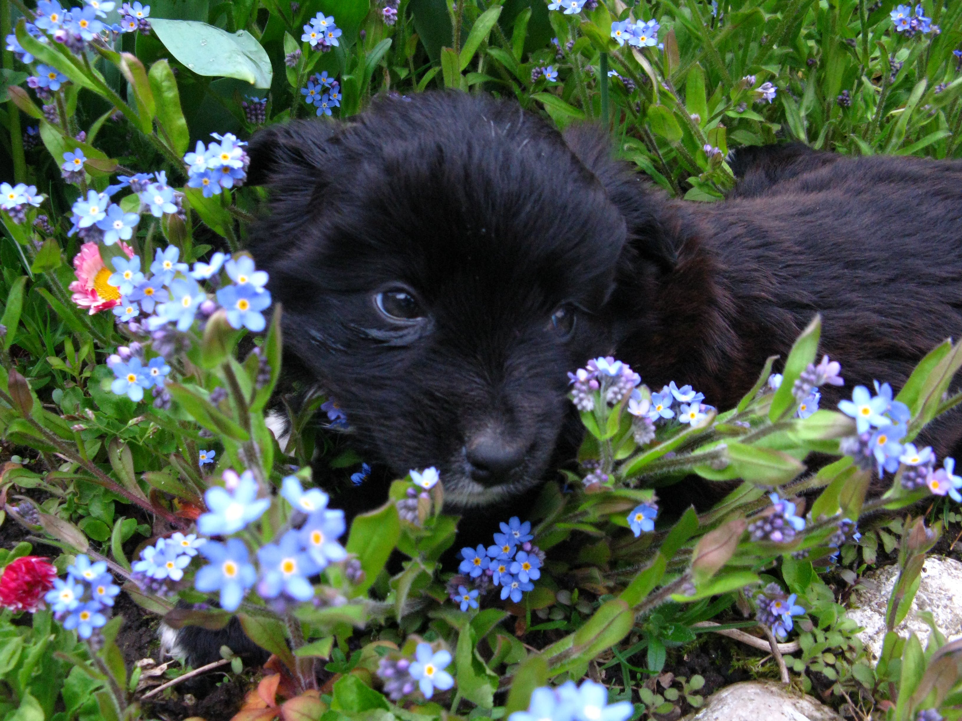 Free stock photo of cute, delicate, dog, flowers