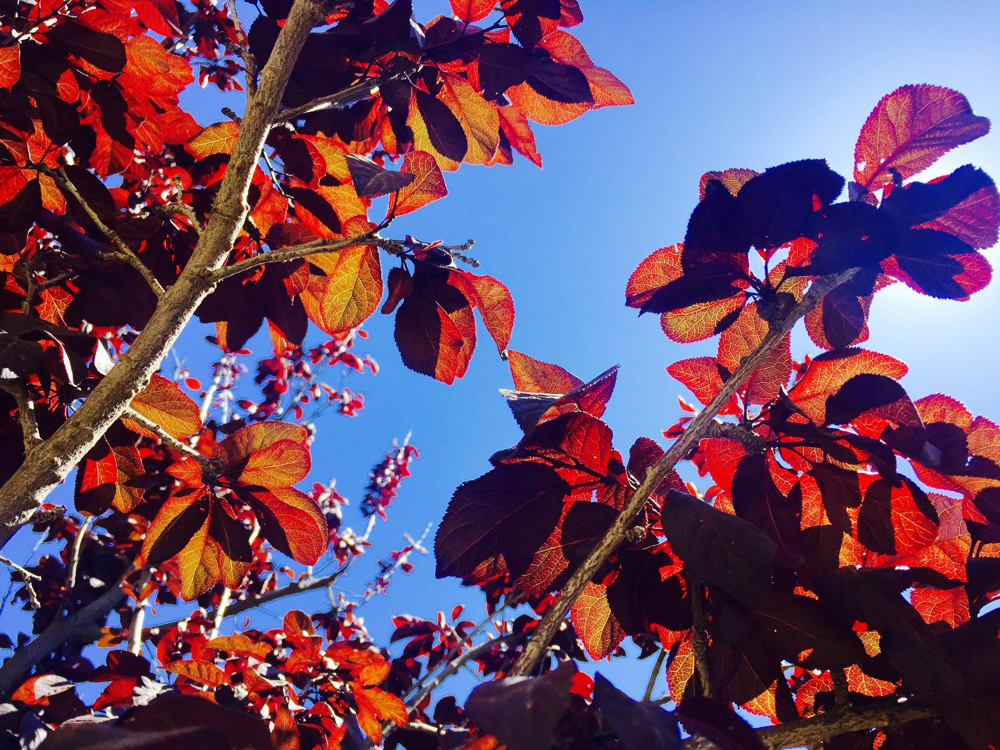 Free stock photo of plumb tree, red tree, sky, tree