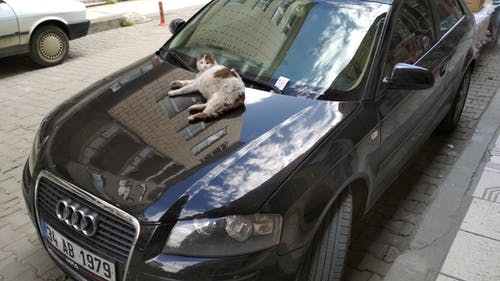 Free stock photo of audi, cat