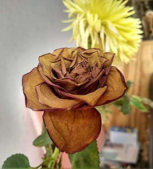 Gratis lagerfoto af rose