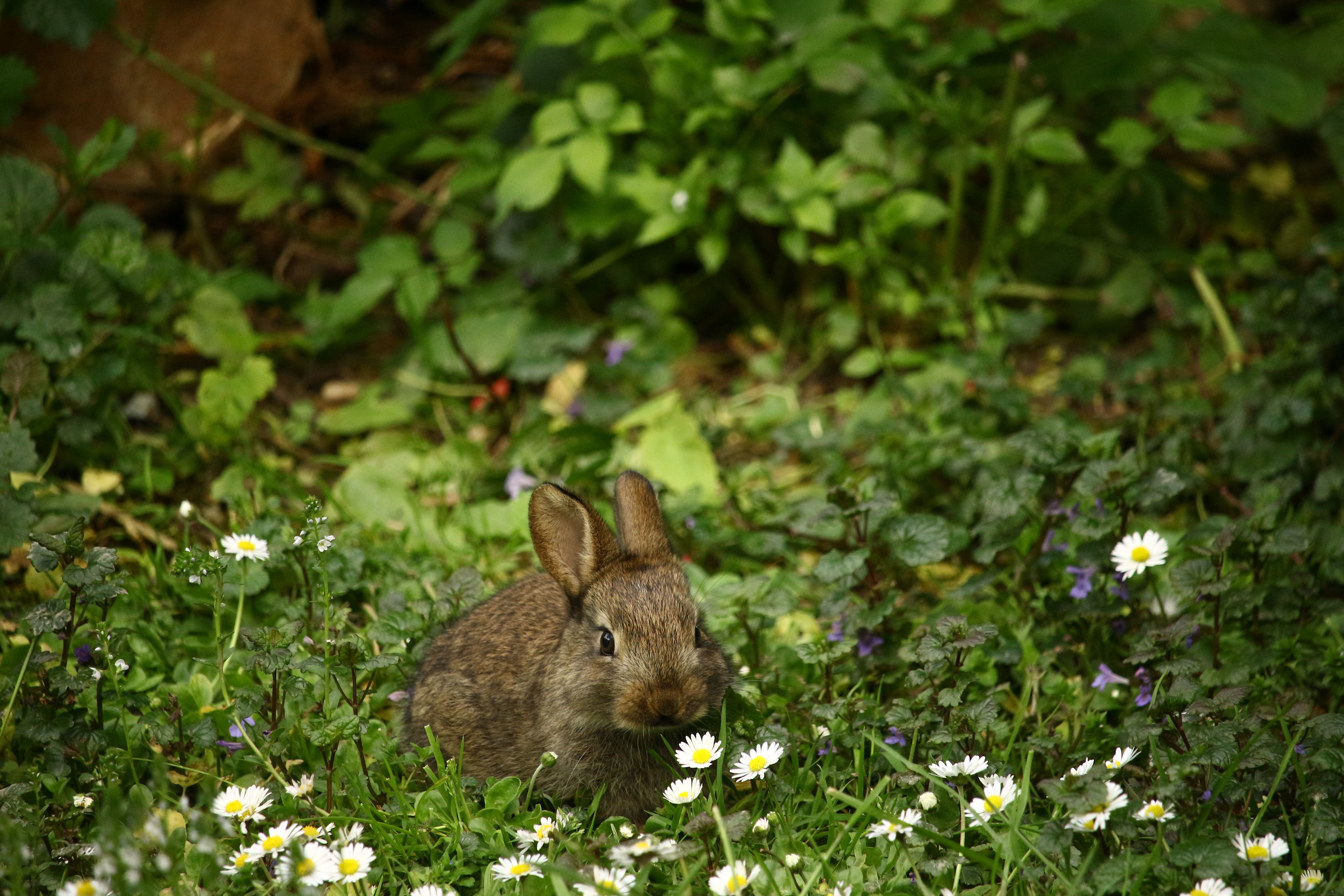 Brown Rabbit in Front of White Daisies