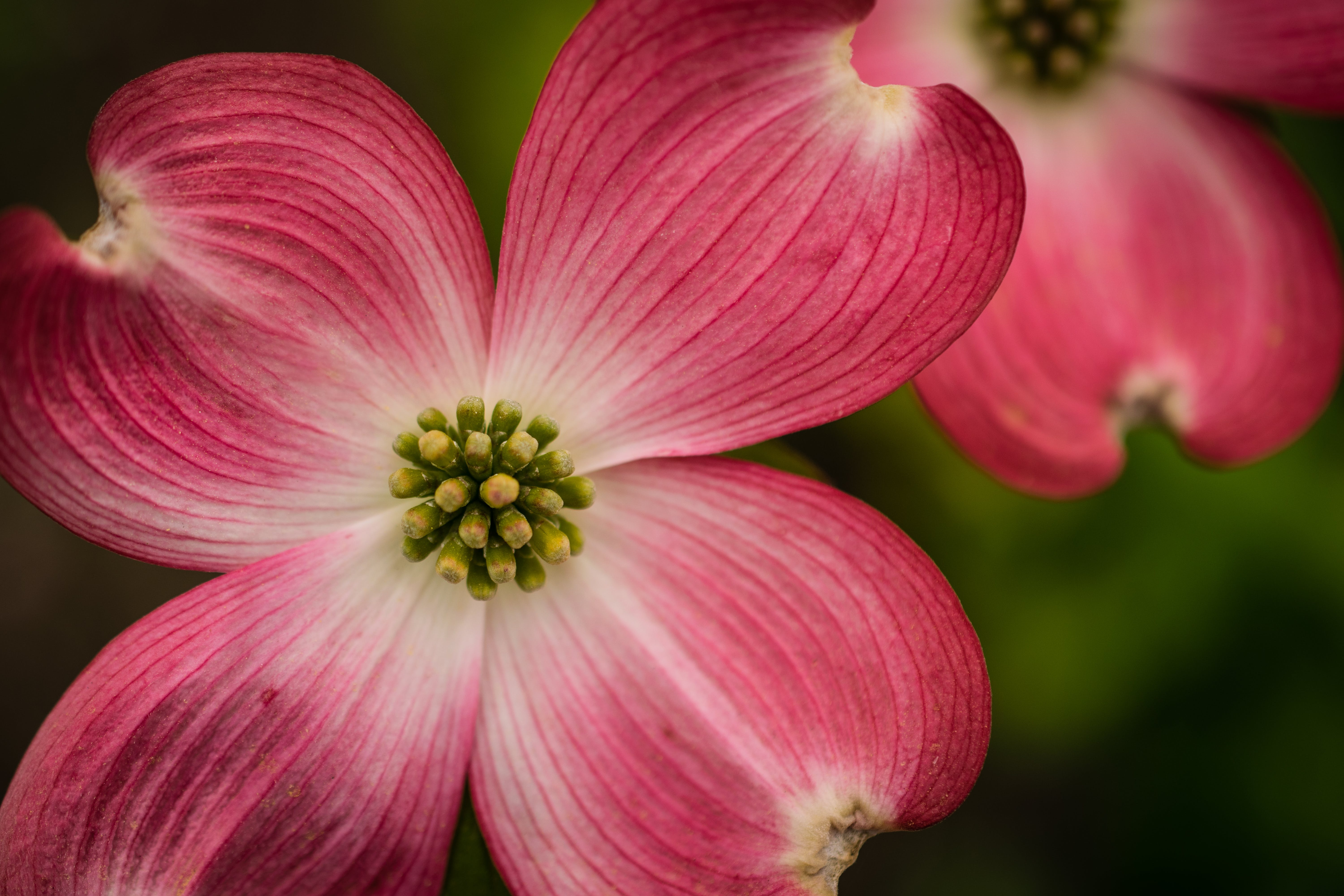 Free stock photo of blossoms, colorful, dogwood, flowers