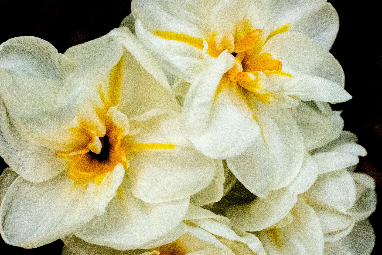Free stock photo of flowers, yellow, spring, white