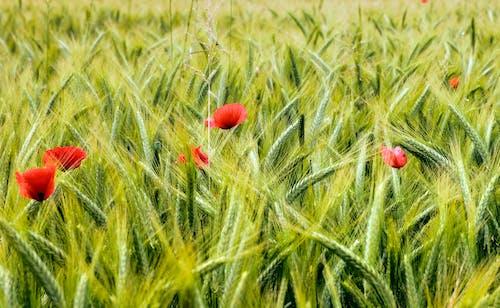 꽃, 들판, 밀, 빨간의 무료 스톡 사진