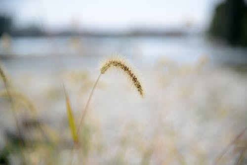 Free stock photo of grass, plant, seed, tall