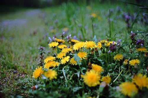 Free stock photo of dandelions, flowers, plant, summer