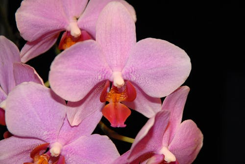Free stock photo of flowers, orchids