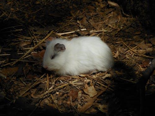 Free stock photo of guinea pig, guinea pig  pig, long fur guinea pig, pig
