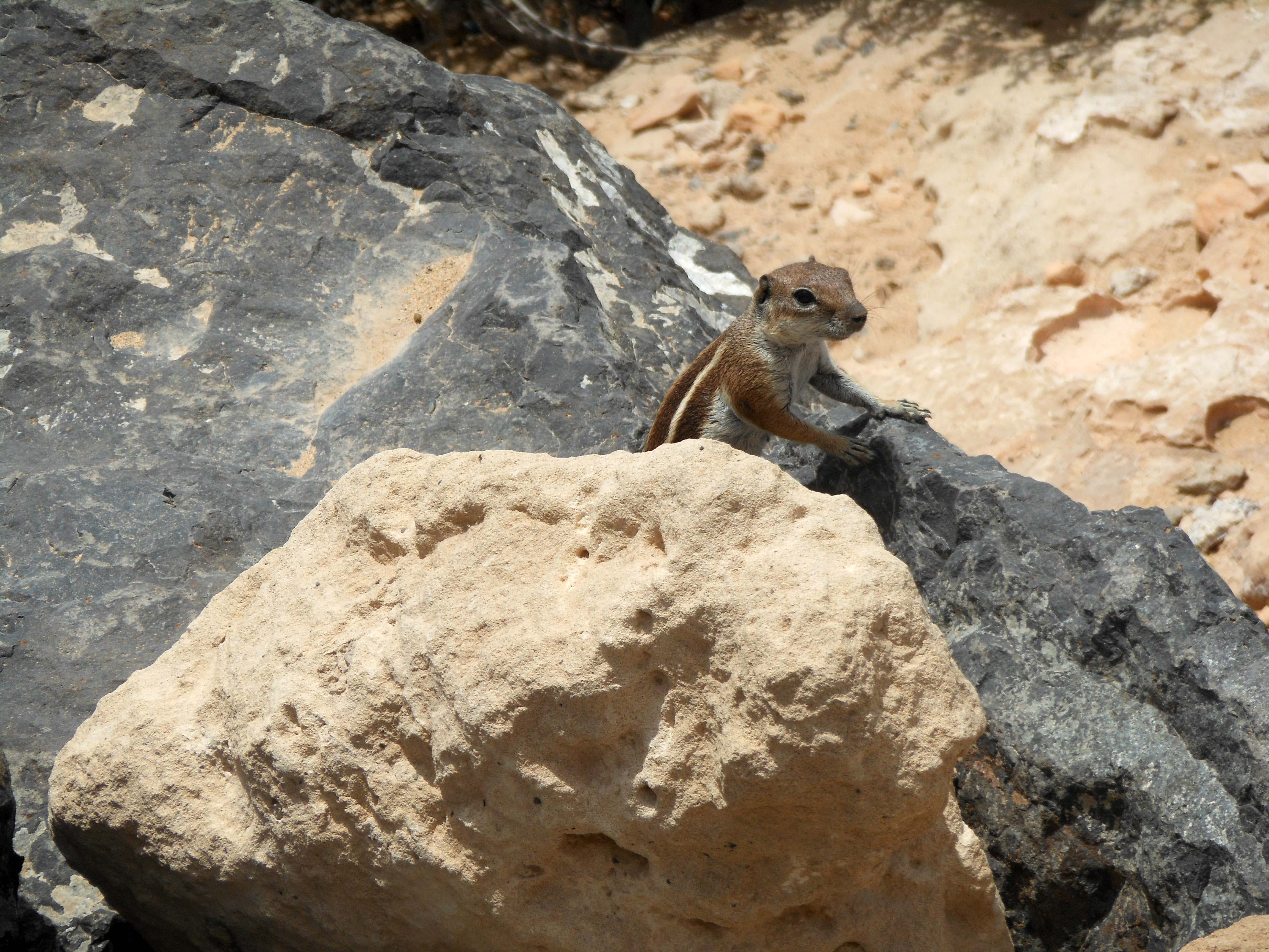 Free stock photo of ground, animals, squirrel, canary islands