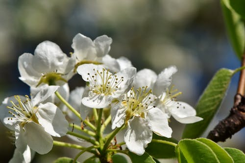 Free stock photo of apple blossom, apple tree, apples, bloom