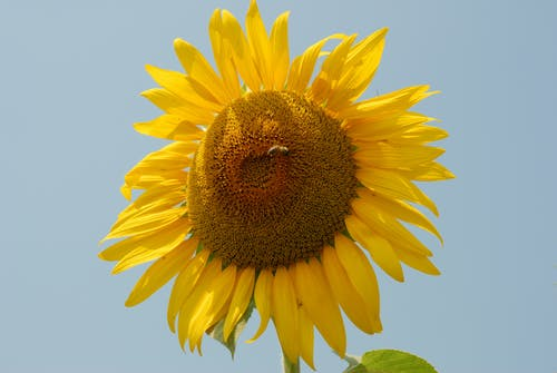 Free stock photo of plant, sunflower, sunflower images free download, sunflower stock