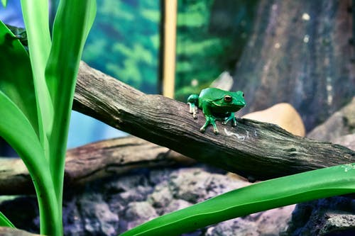 Green Tree Frog Perching on Tree during Daytime