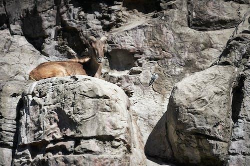산 염소, 염소, 타 롱가 동물원의 무료 스톡 사진