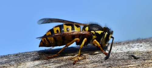 Free stock photo of hornet, insect, wasp, wings