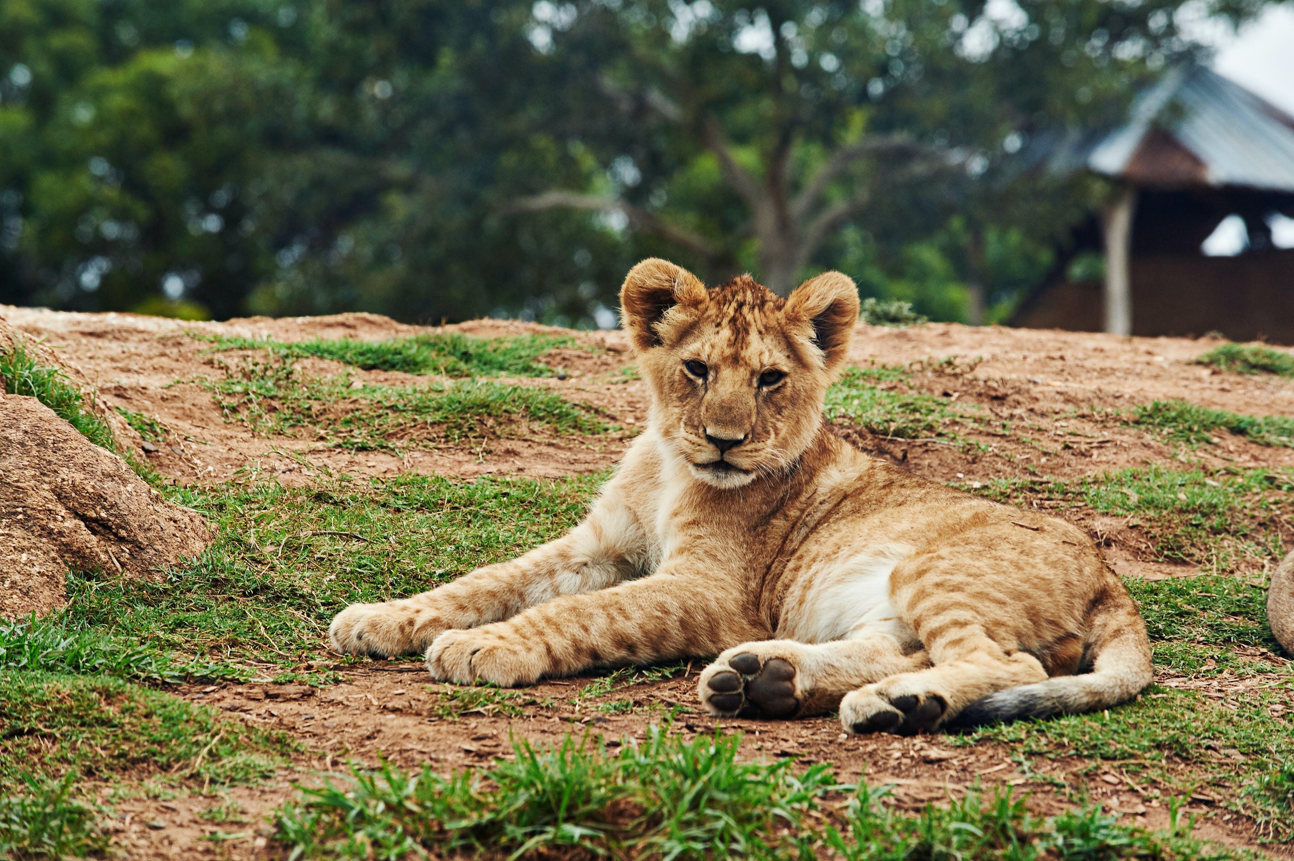 Photos gratuites de animal, chat sauvage, faune, lion