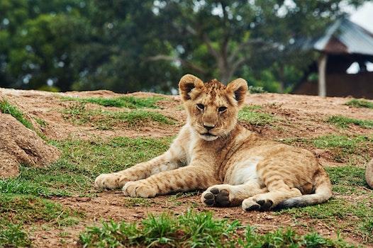 Lion Cub Lying on Ground