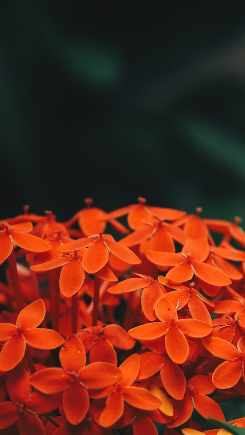 Free stock photo of flower, india, orange, red