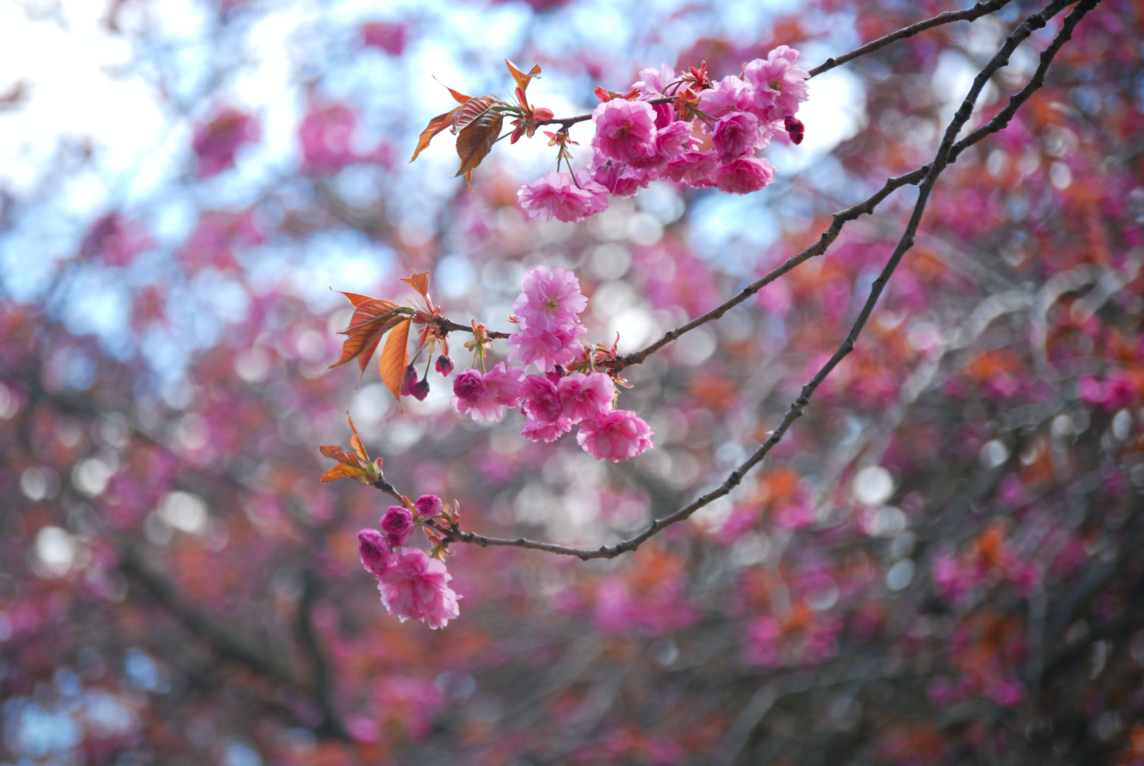 Free stock photo of blossom, blossom tree, blurred background, cherry blossom