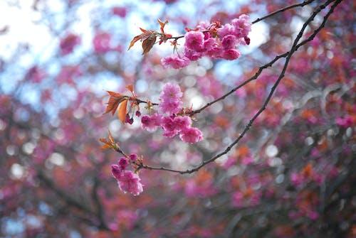 天空, 宏觀, 專注, 开花的树 的 免费素材照片