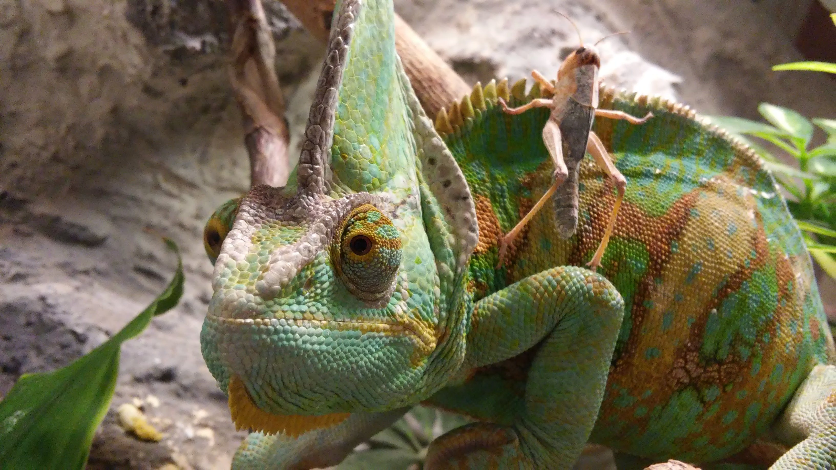 Green Brown and Yellow Cameleon