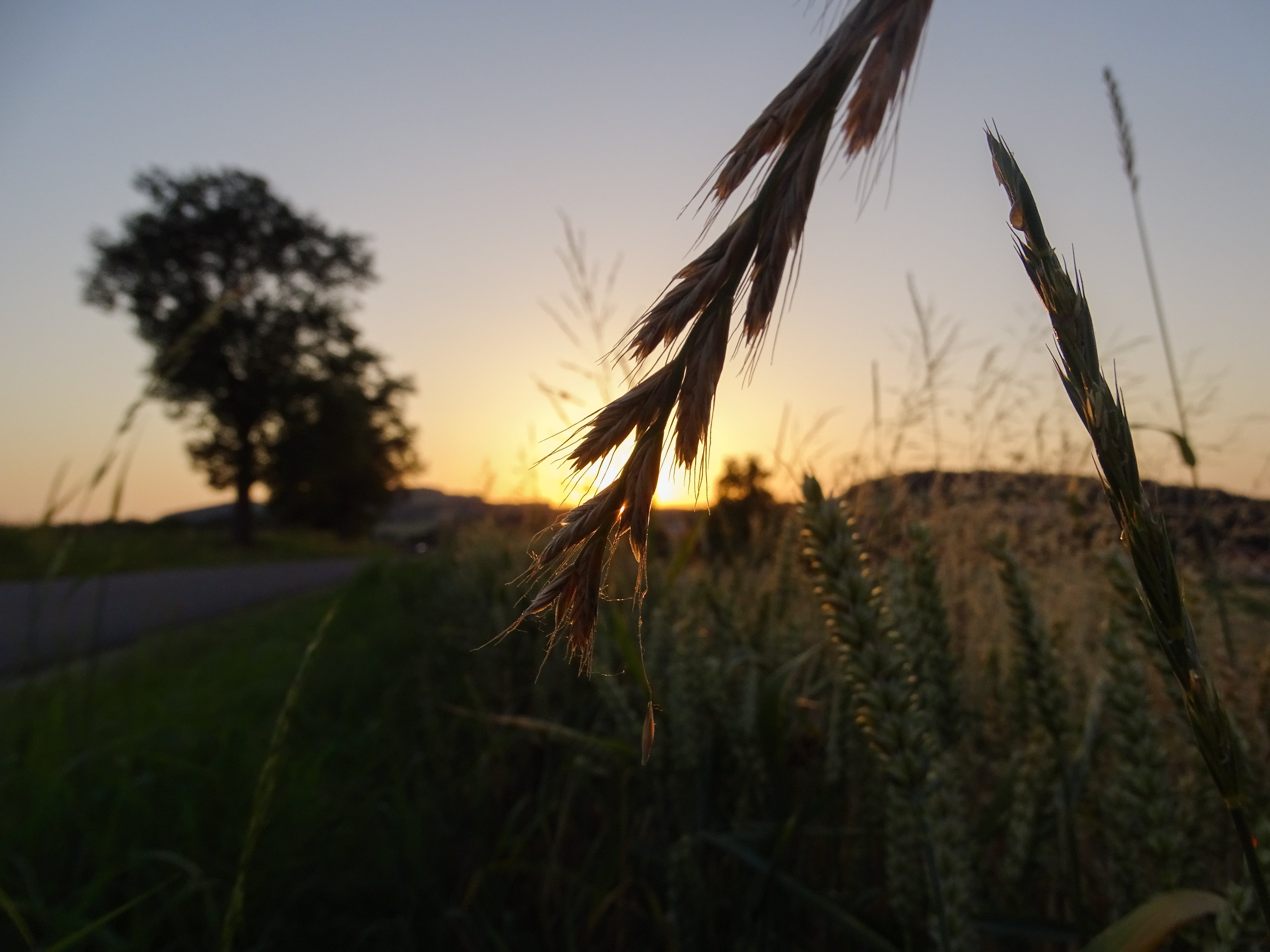 Selective Focus Photo of Wheat Plant