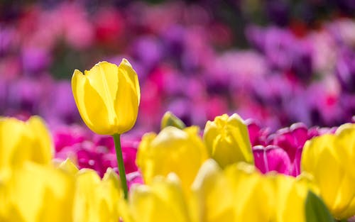 Yellow and Pink Tulip Field Selective-focus Photography