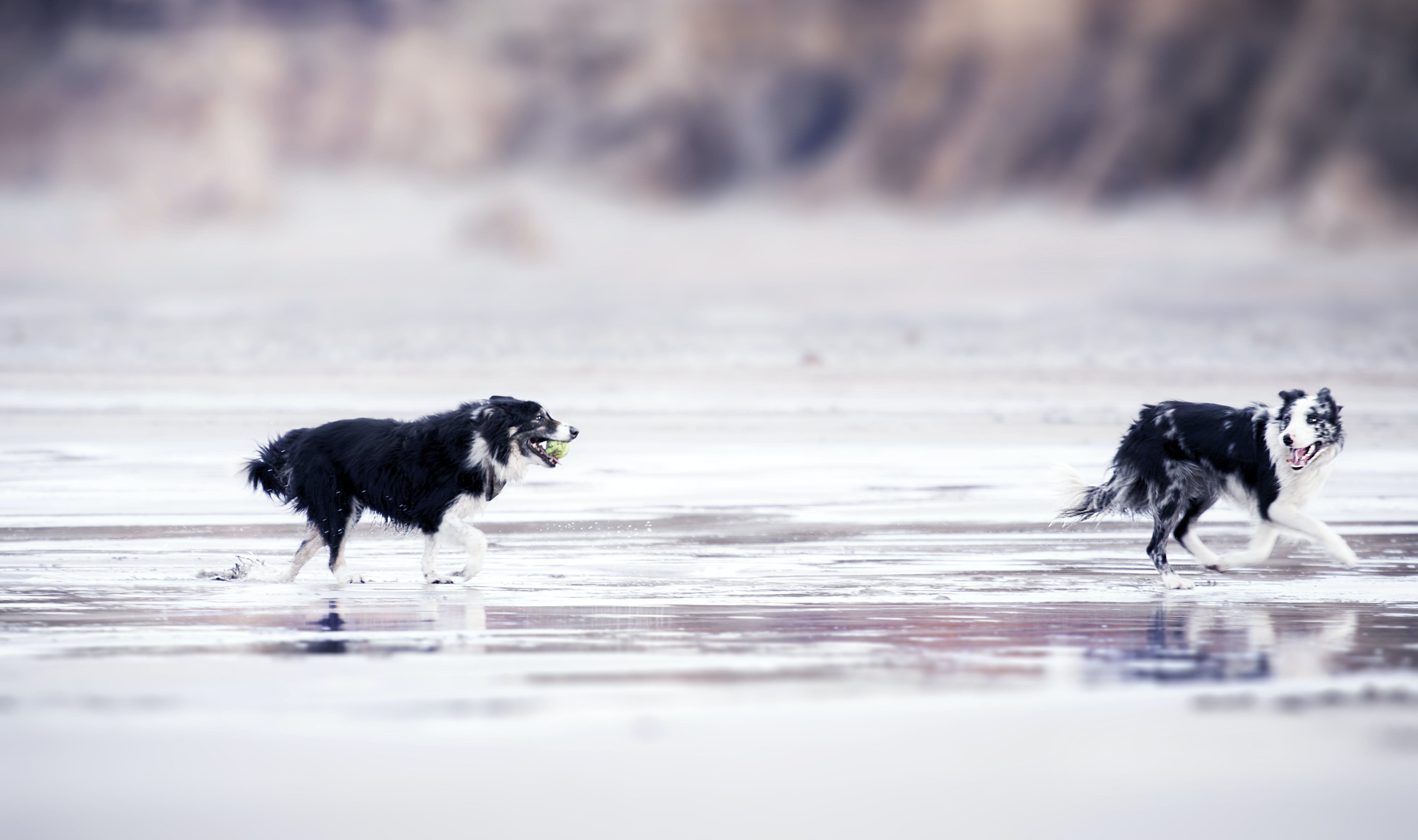 Selective Focus Photography of Two Black-and-white Border Collies Runs in Body of Water