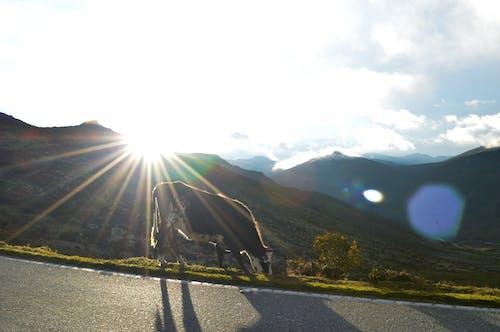 Ilmainen kuvapankkikuva tunnisteilla auringonvalo, aurinko, lehmä, maisema