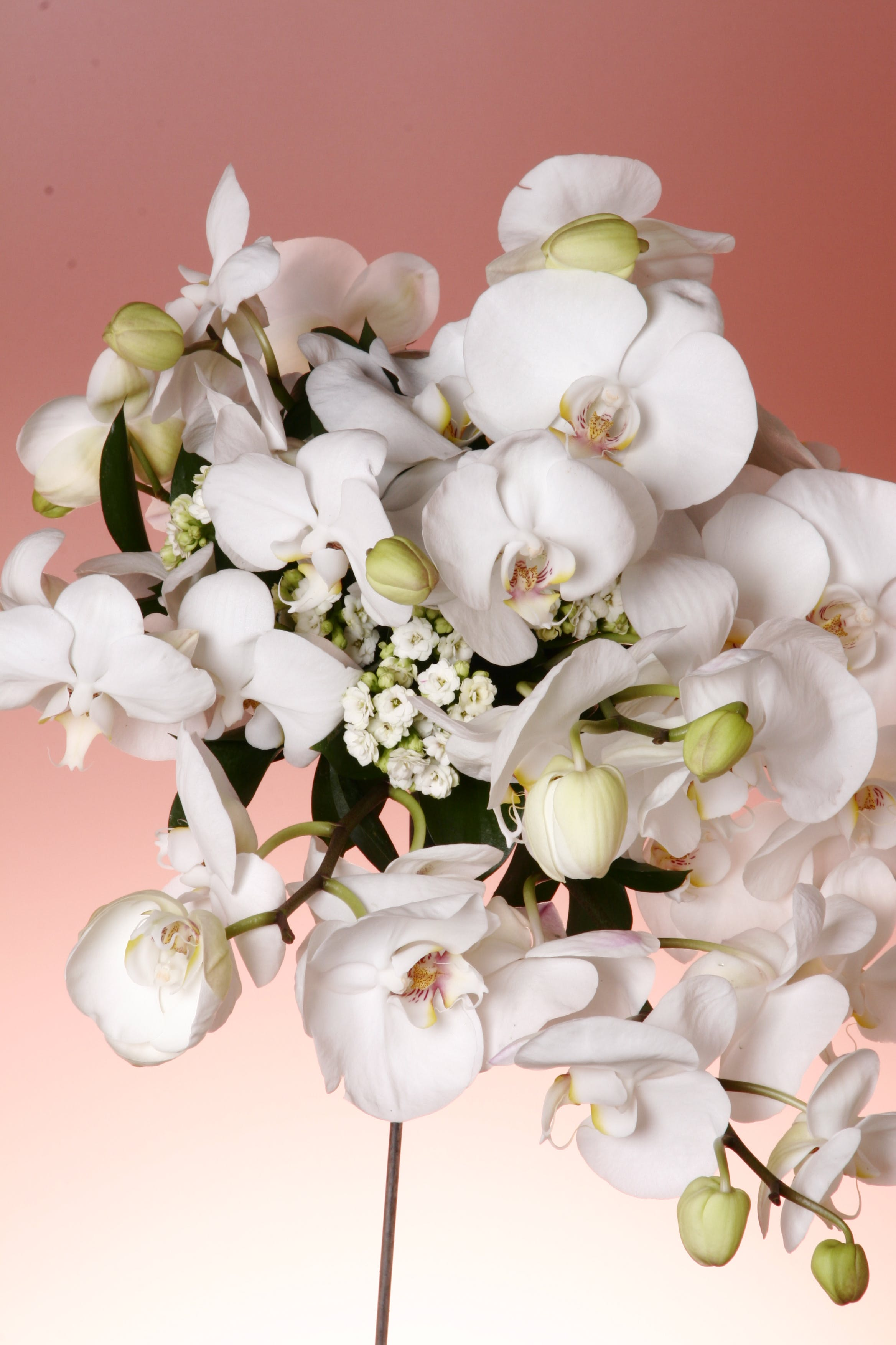 Photo of White Moth Orchids