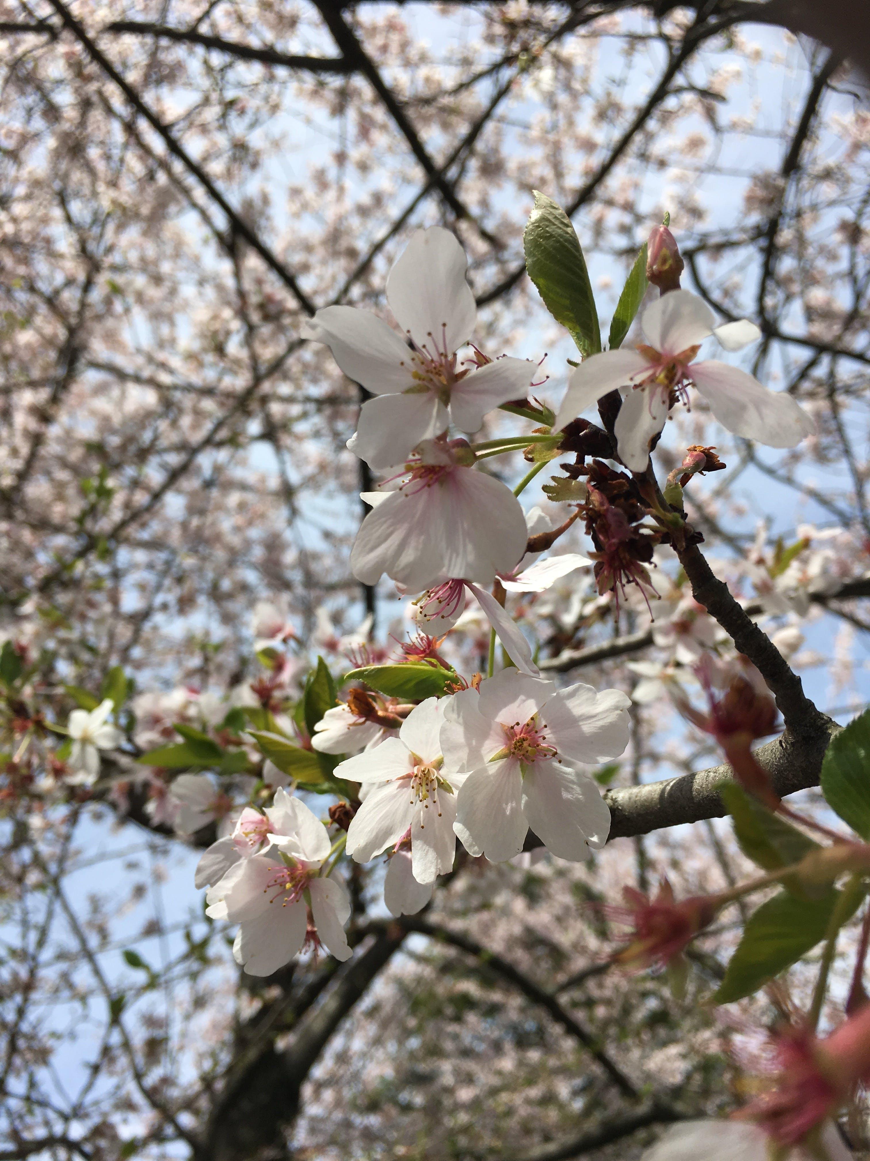 Free stock photo of beautiful flowers, cherry blossom, flowers, tree