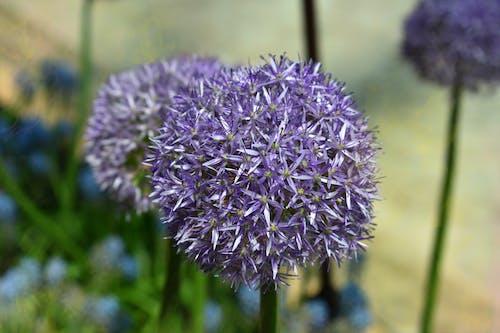 夏天, 天性, 紫色, 紫色小花 的 免费素材照片