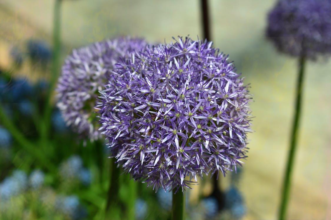 Photos gratuites de été, fleur, fleur violette