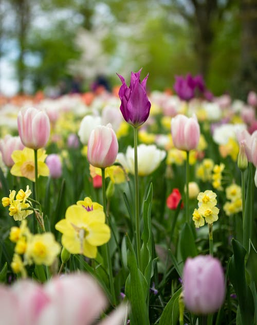 Depth of Field Photography of Tulip Flowers