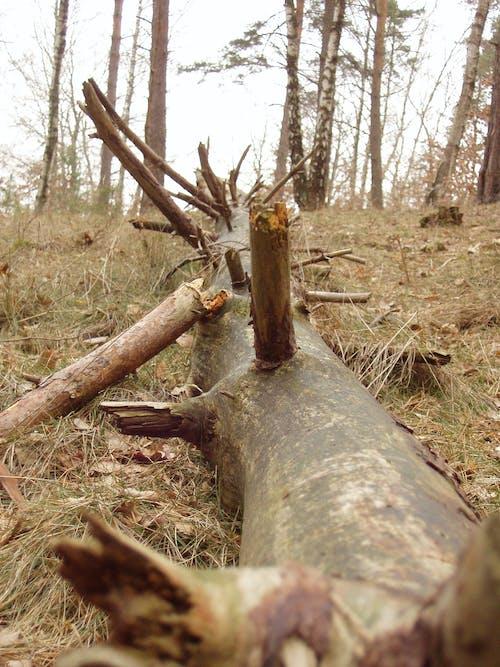 Fotos de stock gratuitas de árbol, Árbol caído, árboles caídos, bosque